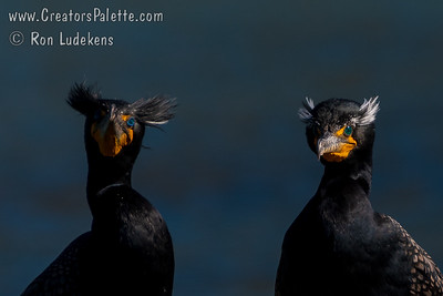 Double-crested Cormorants in breeding plumage found in the pond at Plaza Park.