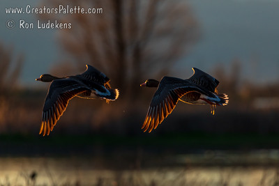 Greater Whitefronted Geese in setting sun - Colusa National Wildlife Refuce
