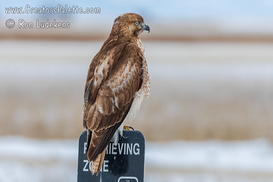 Red-tailed Hawk in Lower Klamath National Wildlife Refuge