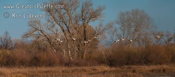Snow Geese evening flight at Gray Lodge Wildlife Area