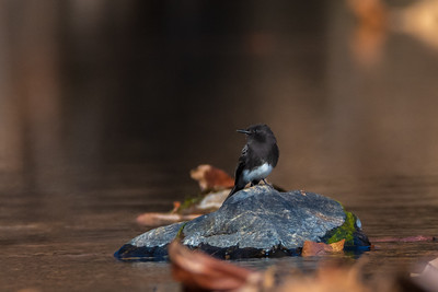 Black Phoebe perched on rock in Dry Creek - Homer Ranch Preserve.