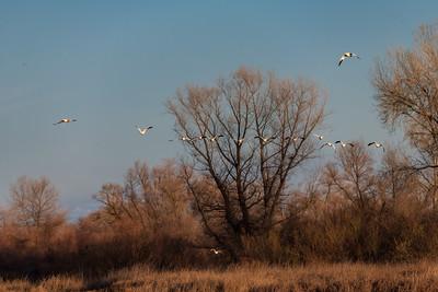 Flight of Snow Geese at Gray Lodge Wildlife Area
