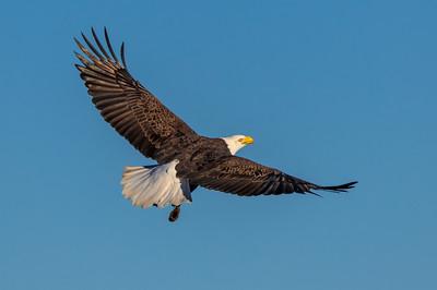 Bald Eagle at Sacramento National Wildlife Refuge