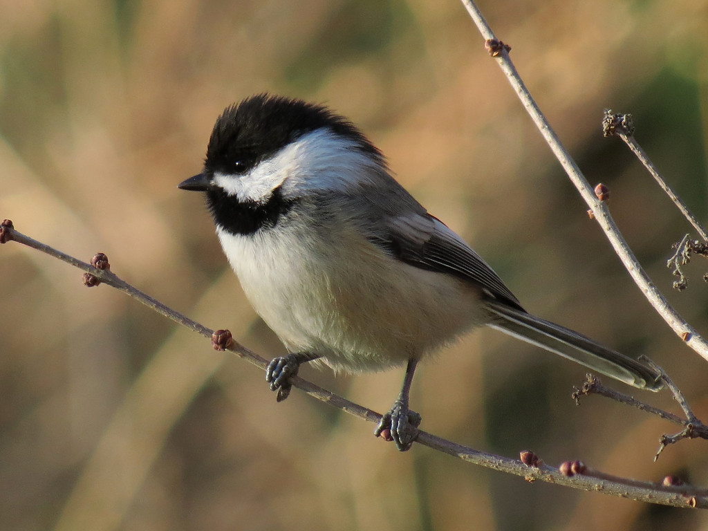 Chickadee on a cold, windy but sunny December 12, 2012.