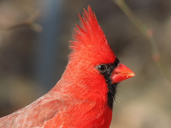 Nice profile shot of a Cardinal.
