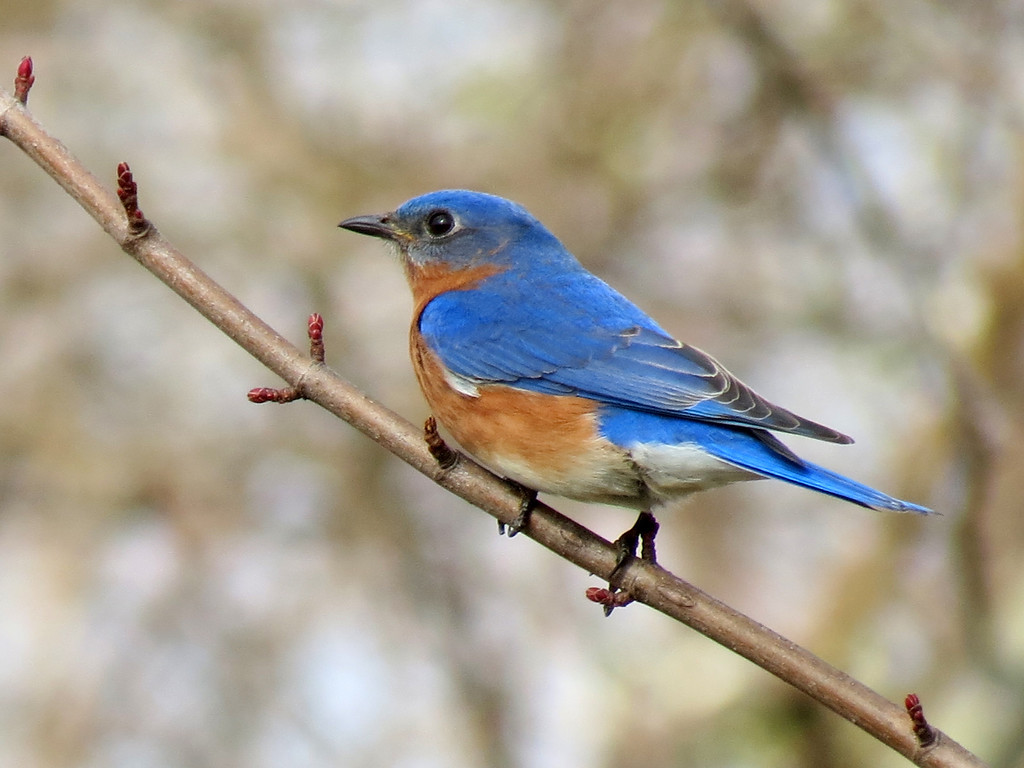 Bluebird on Maple in early spring.