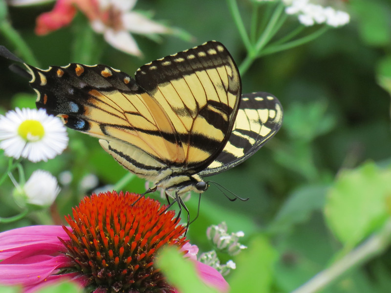 Swallowtail butterfly in the front garden.