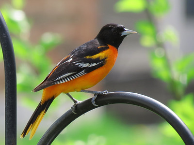 Brightly Colored Oriole in a Rare Moment of Sunshine.