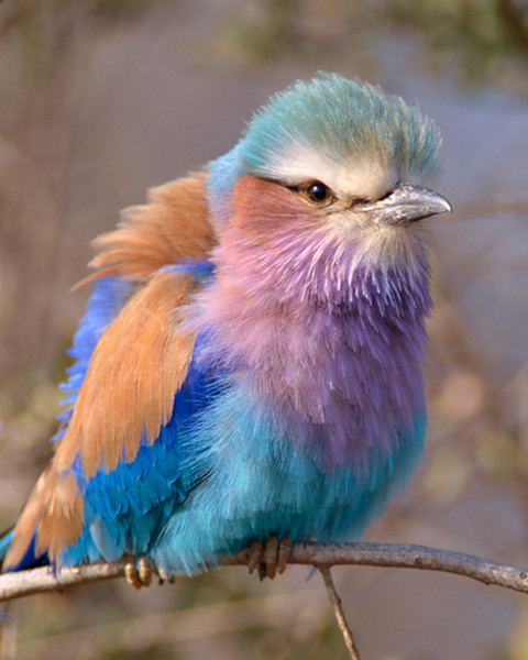 Lilac-breasted Roller, Kreuger National Park, South Africa-1999