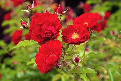 Neighborhood Roses