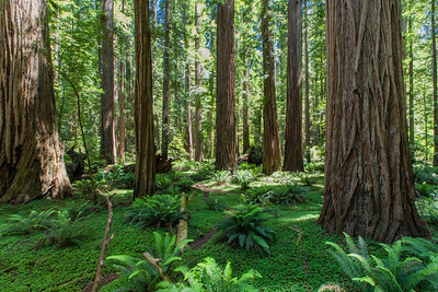 Stout Grove, Jedediah Smith Redwoods