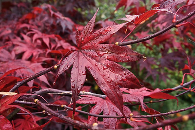 Japanese Maple After a Fall Shower