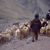 A young boy brings home the sheep in Ladakh, India.