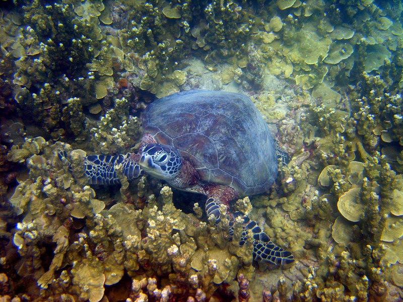 Green sea turtle, San Luis Beach, Apra Harbor, Guam