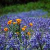 California Poppies rise above the surrounding field of Lupine along the American River, California
