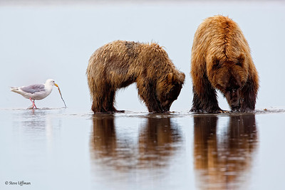 The Buffet line on the Coastal Flats of Lake Katmai, AK