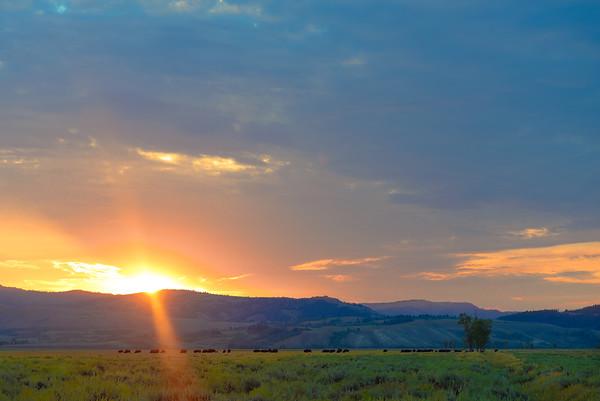Bison at sunrise, Jackson, Wyoming