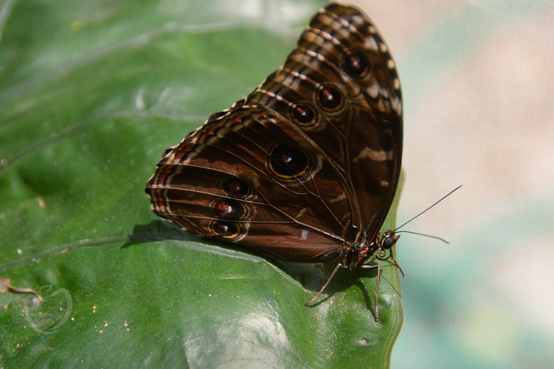 Blue morpho butterfly, ventral side, Belize