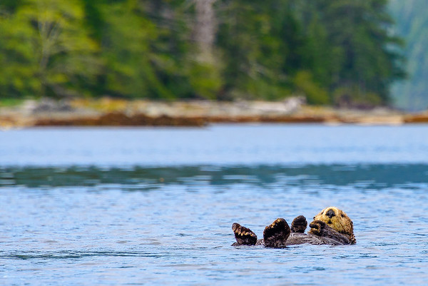 Sea otter, Bunsby Islands, Vancouver Island, British Columbia
