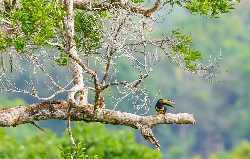 Toucan, Amazon, Ecuador
