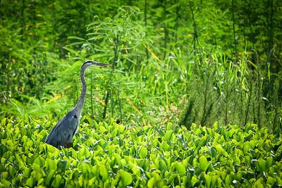Prob. Great Blue Heron, La Chua Trail, Payne's Prairie, Micanopy, Florida