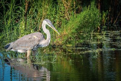 Prob. Great Blue Heron (Juvenile), La Chua Trail, Payne's Prairie, Micanopy, Florida