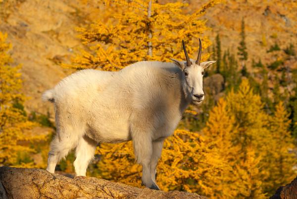 Mountain goat in Ingalls Lake basin, Central Cascades, Washington