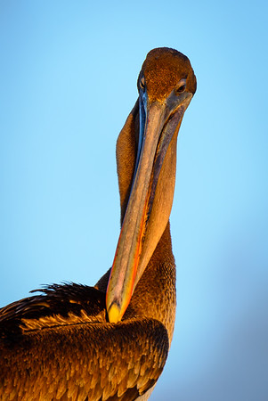 Pelican, Galapagos Islands, Ecuador