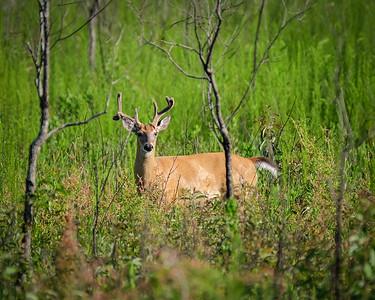 Deer, Payne's Prairie, Micanopy, Florida