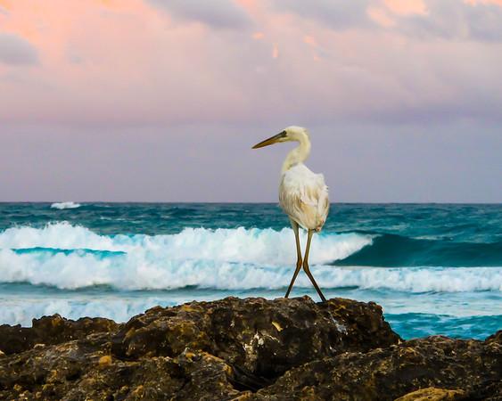 Egret, Yucatan, Mexico