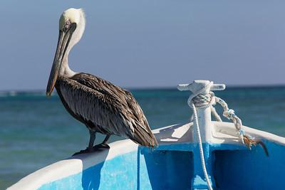 Pelican in the Carribean