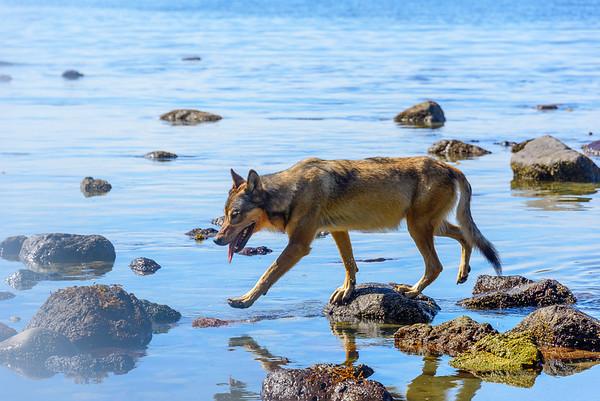 Sea wolf, Vancouver Island, British Columbia