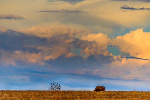 Lone bison, Antelope Island, Utah