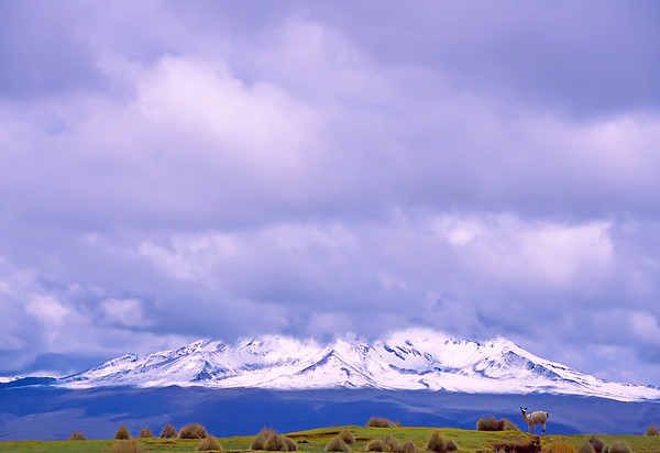 Lone llama at the foot of Sajama Volcano, Bolivia