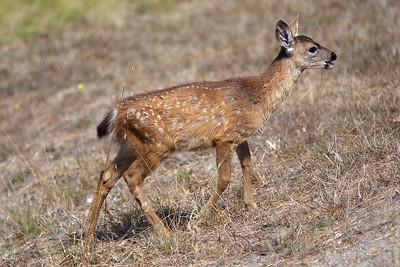 A Baby Deer
