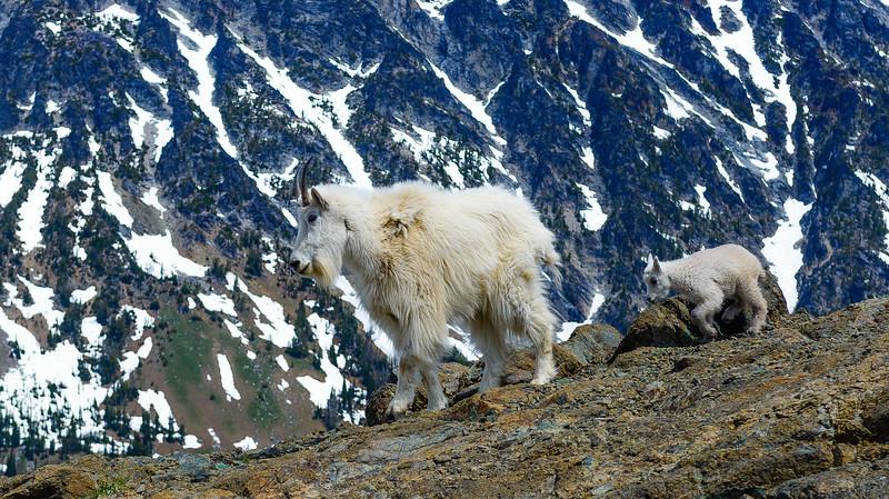 Mountain goats, Mt Ingalls, Washington