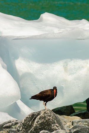 Oyster catcher, Glacier Bay National Park, Alaska