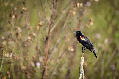 Red-Winged Blackbird (Male), Payne's Prairie, Micanopy, Florida