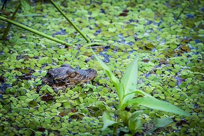 Baby Gator, Payne's Prairie, Micanopy, Florida
