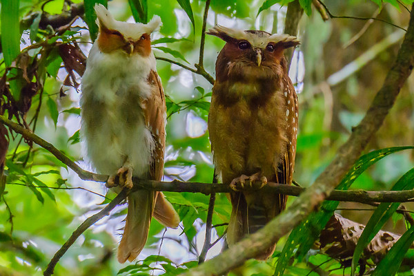 Owl pair, Amazon, Ecuador