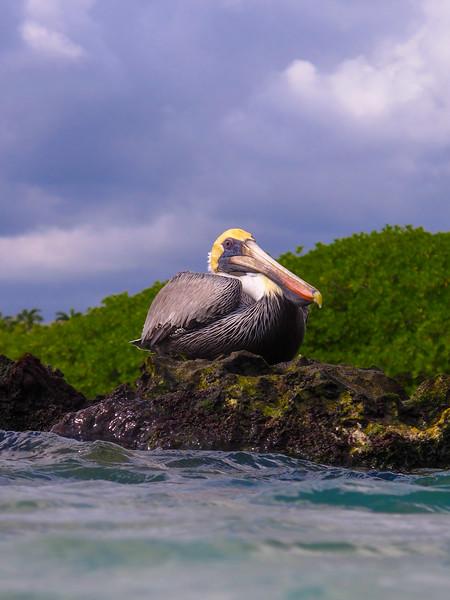 Pelican, Yucutan, Mexico