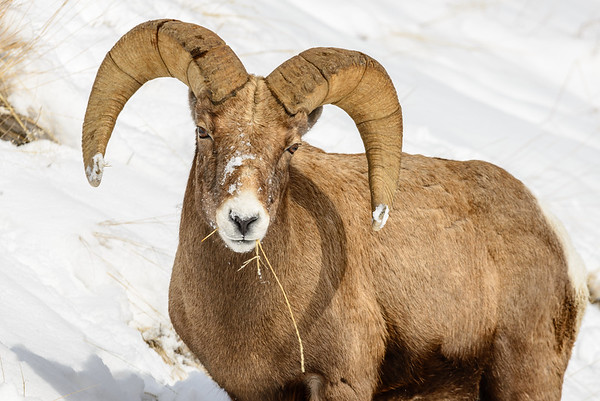 Bighorn Sheep, Lamar Valley, Yellowstone National Park, Wyoming