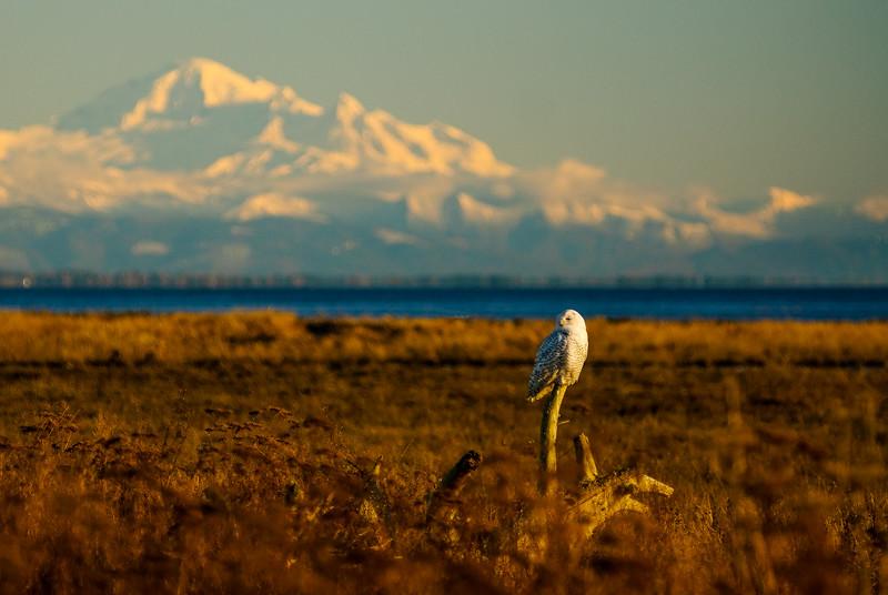 Snowy Owl and Mt Baker, Washington