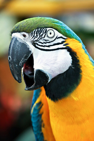 Squaking Parrot