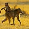 african baboon & young, botswana, africa