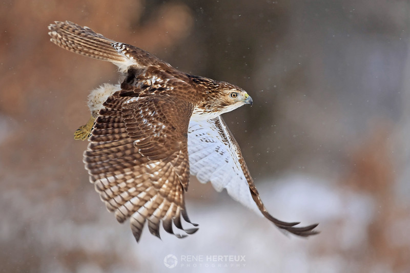 Red tailed hawk in snow