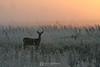 Foggy morning visitor, Shakopee MN