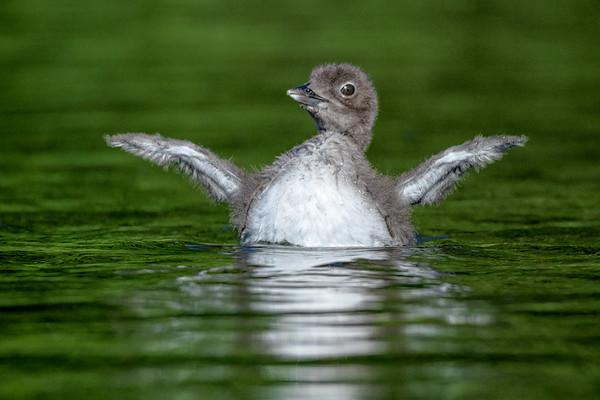 Loon flapping