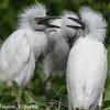 DSC_0055 Egrets