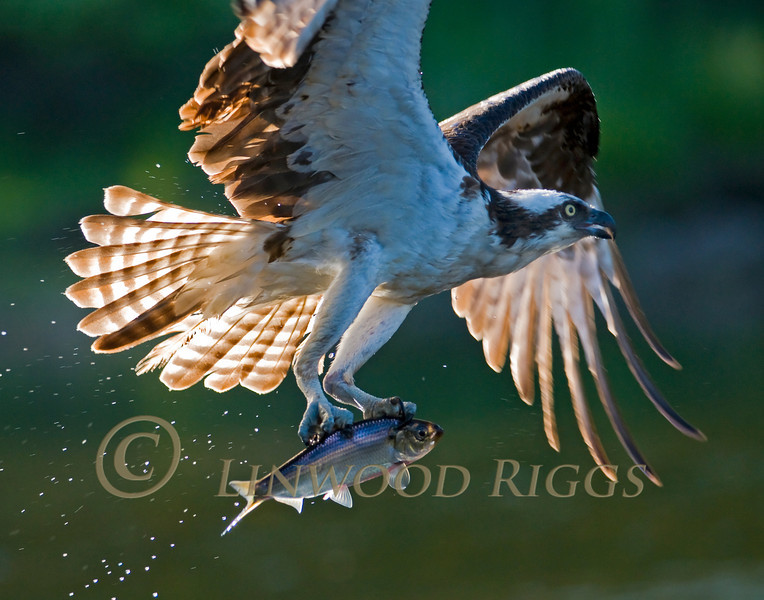 Osprey with catch at Damariscotta Mills